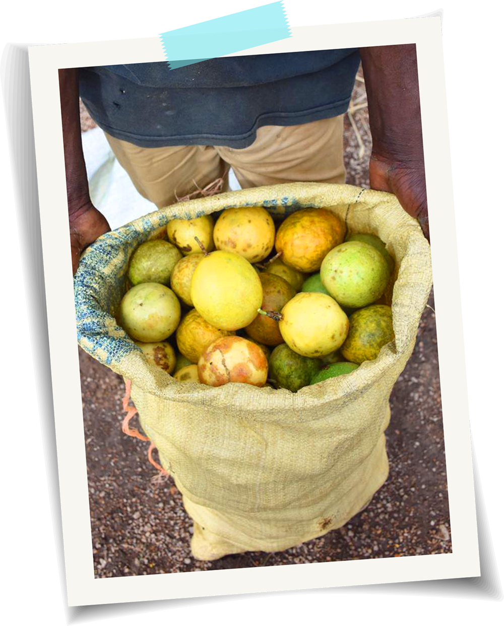 Dominican local guava farmer