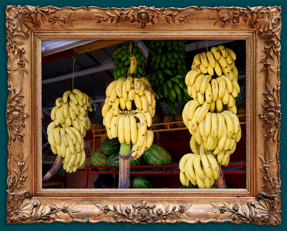 Bananas are harvested and hung ready for our smoothies!