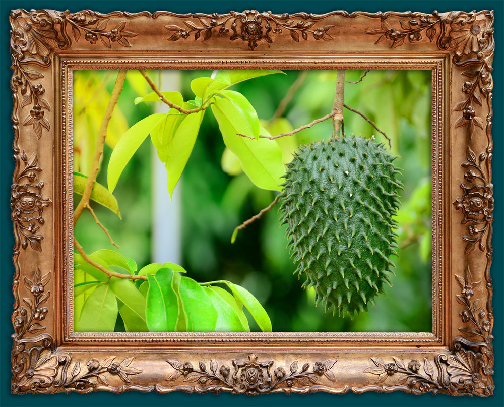 A soursop amongst the trees