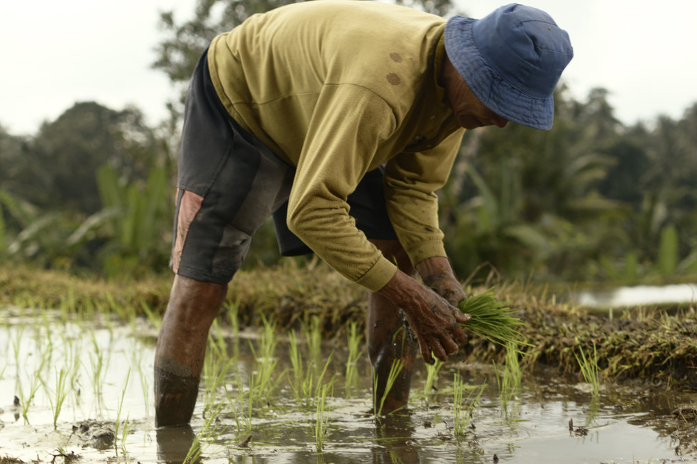 During the planting season, the farmers wade in knee high water.