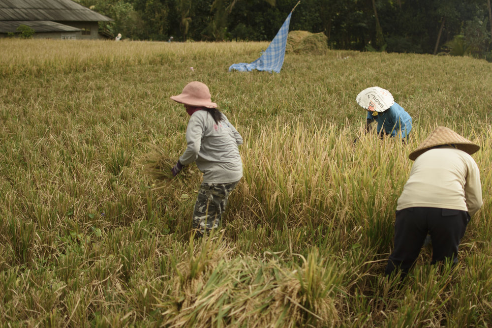 Women toiling hard under the midday sun, harvesting rice crops.