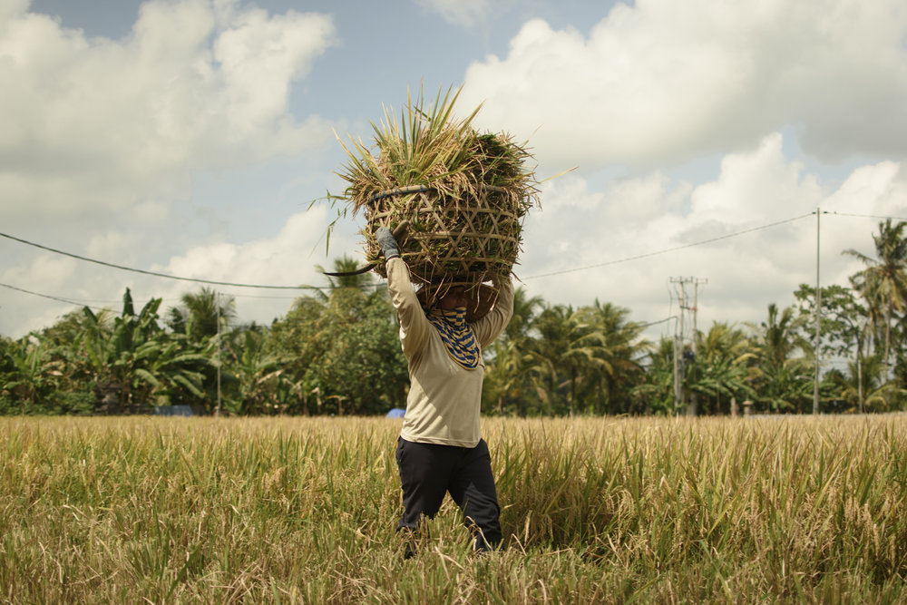 The rice farmers, cut and harvest the rice crop and then carry their individual yield to a larger depository where the other farmers compile their yields.