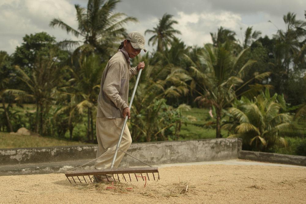 Rice farmer from the regency of Tabanan, Bali.