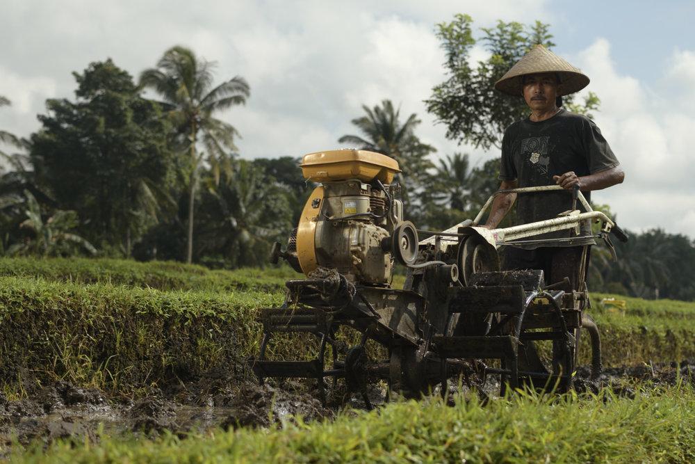 Farmer working the rice fields.