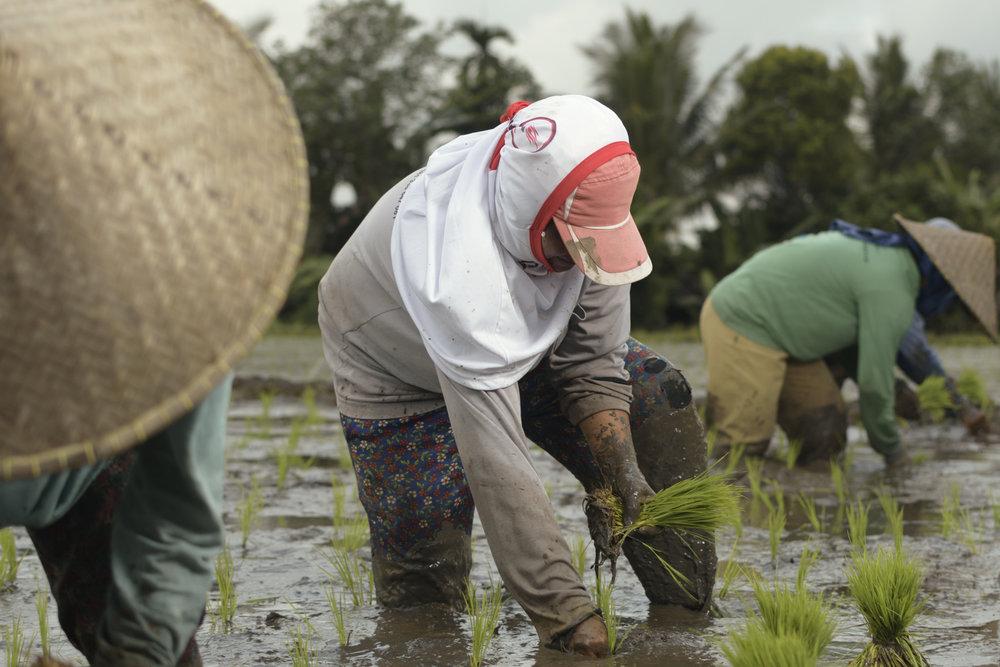 Women farmer, planting rice crops in Jegu Penebel, a rice farming village in Tabanan, Bali