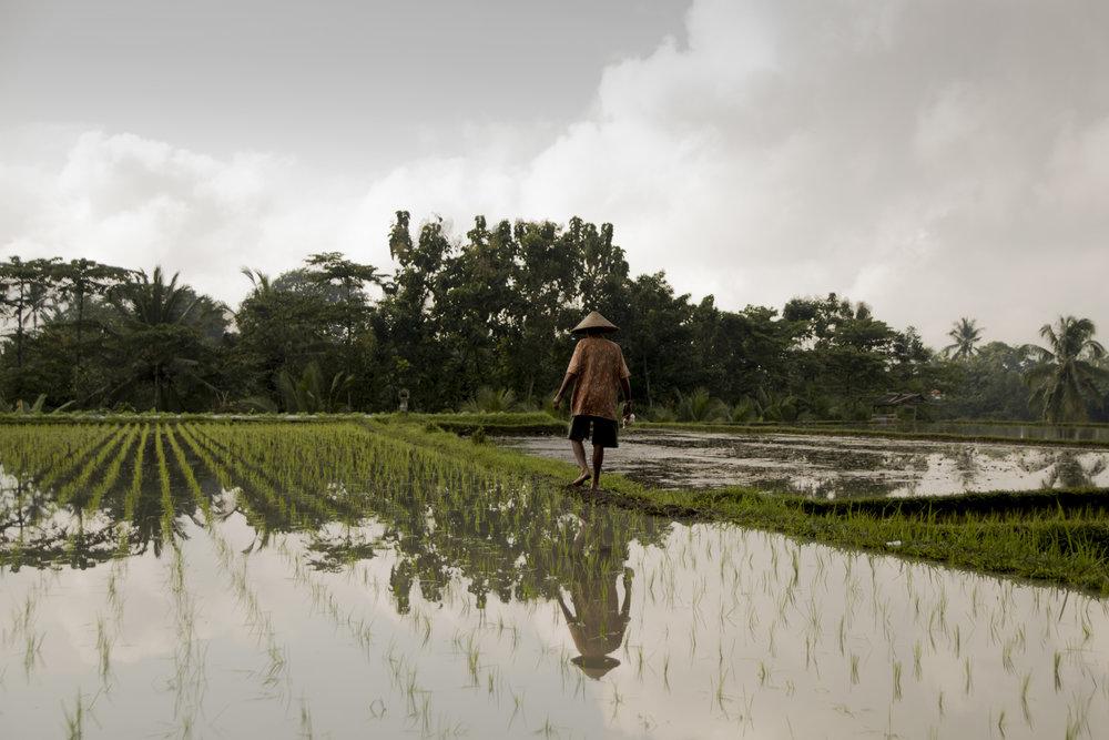 A farmer strolls amongst the rice fields early in the morning.