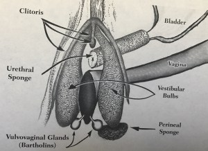 Close-Up of Erectile Network and Associated Structures