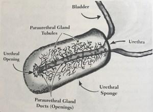 Close Up of Urethral Sponge