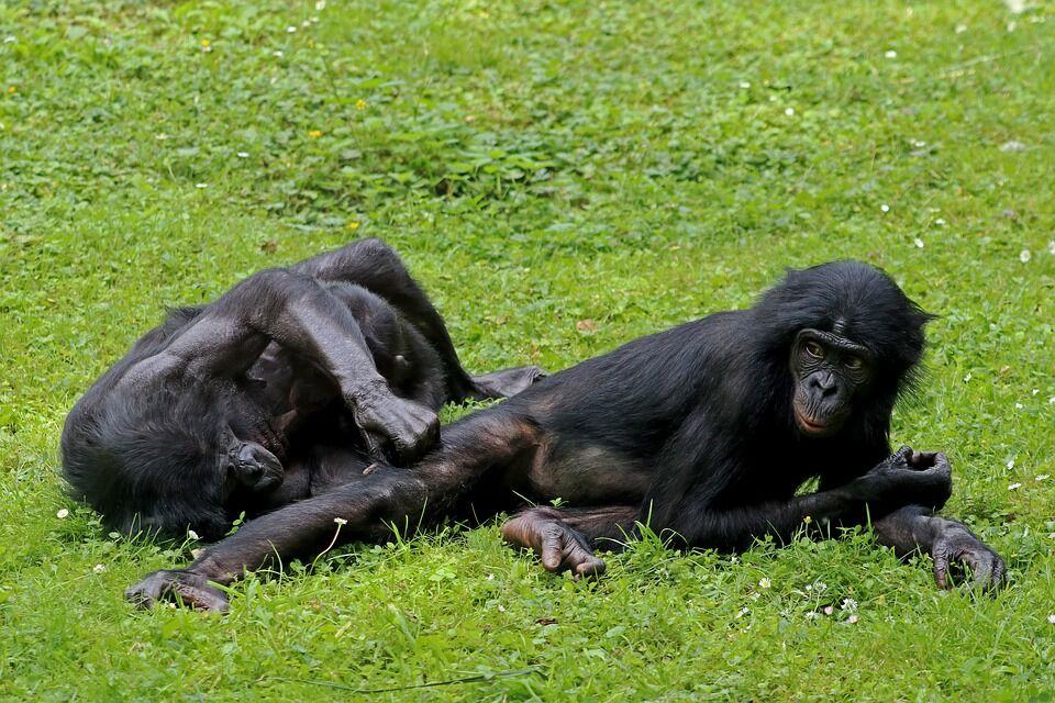 Bonobos.jpeg