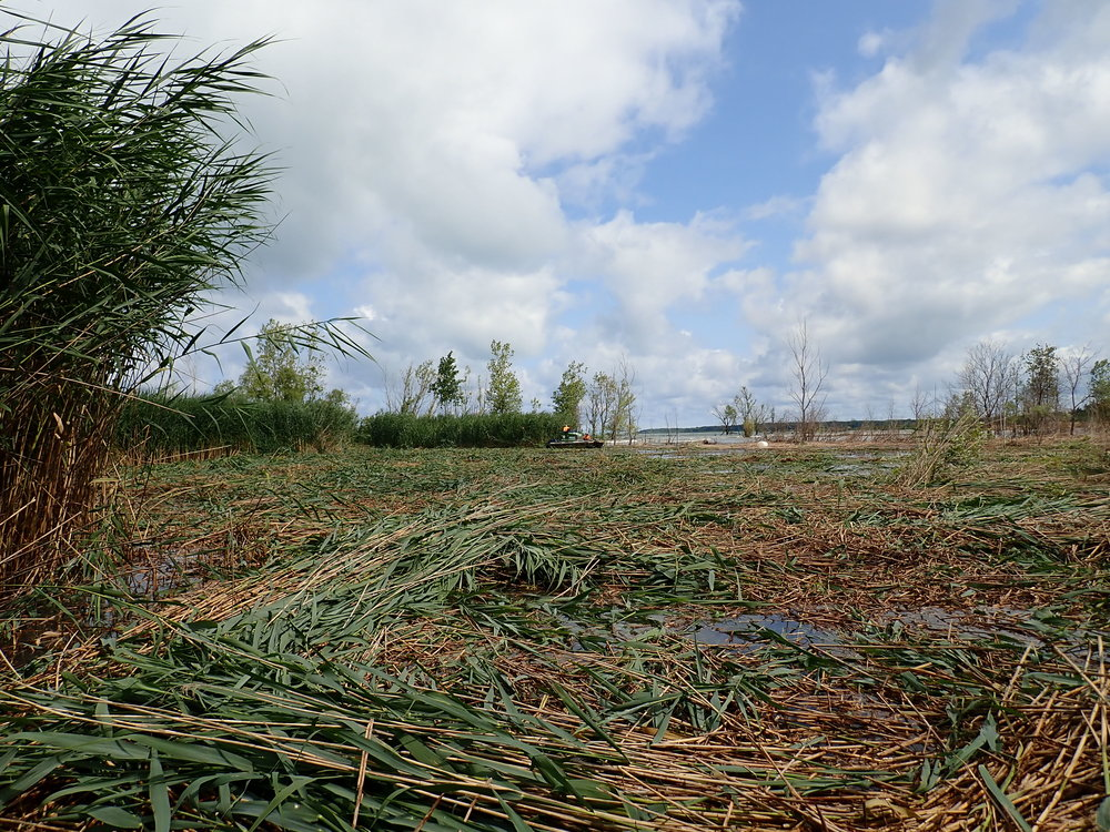 A few Truxors are able to cut a lot of  Phragmites  in a matter of hours.