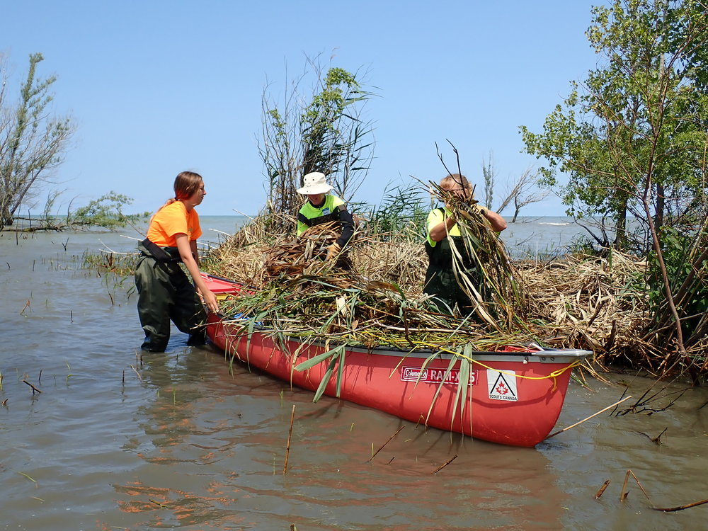 Volunteers cut and gather shallow  Phragmites  along the Lake Huron shoreline.