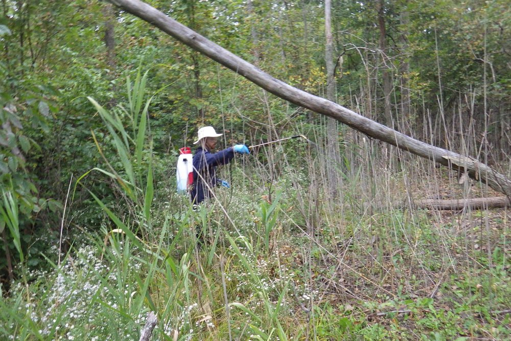 At a site treated in the previous year, Graham applies herbicide to surviving  Phragmites  plants using a backpack sprayer.