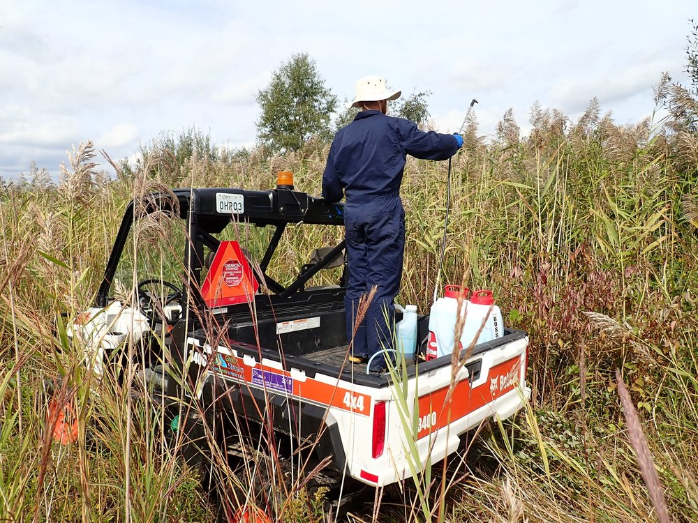 Graham sprays  Phragmites  with herbicide from the back of a UTV.