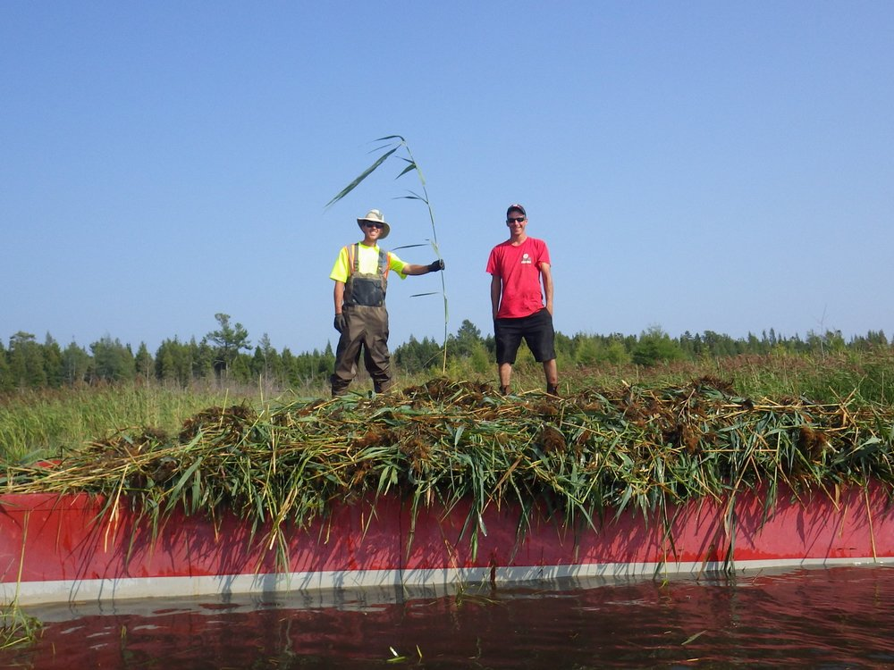 Two volunteers stand atop a barge full of  Phragmites .