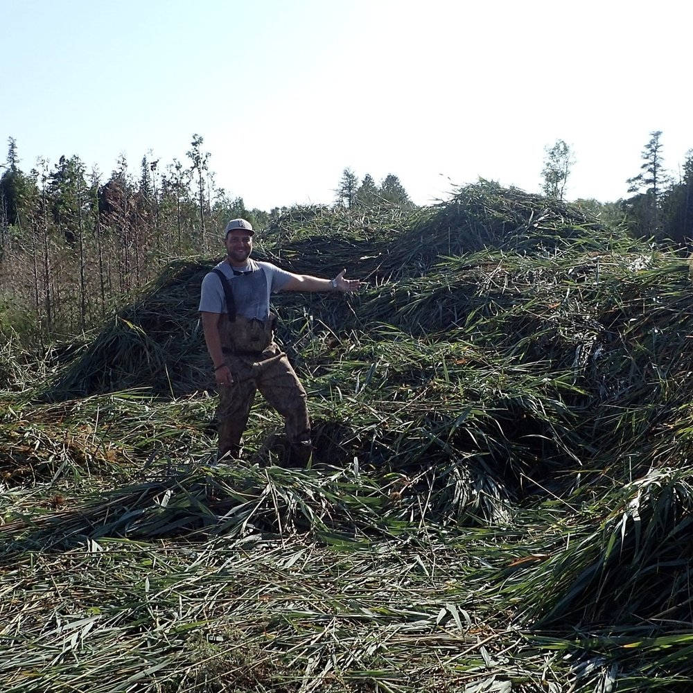 Chad gestures to a sizeable pile of  Phragmites  made by Truxors