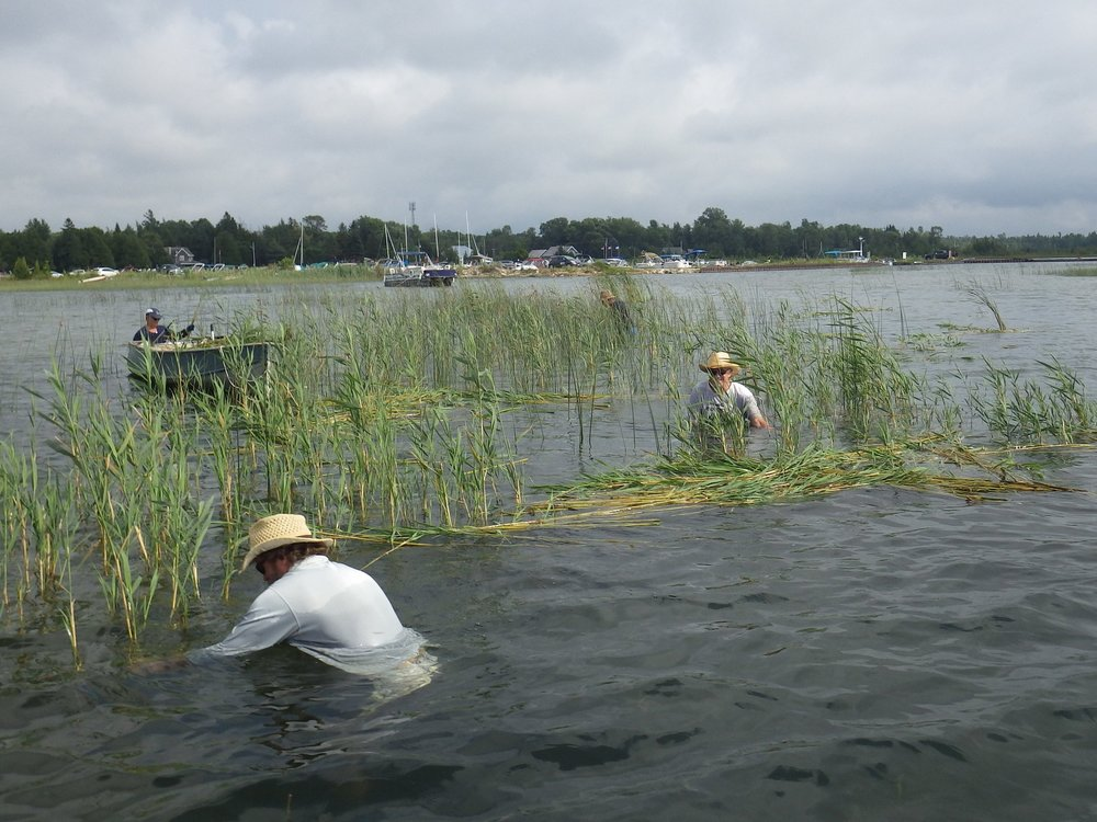 Volunteers cut and gather  Phragmites  by hand in Oliphant.