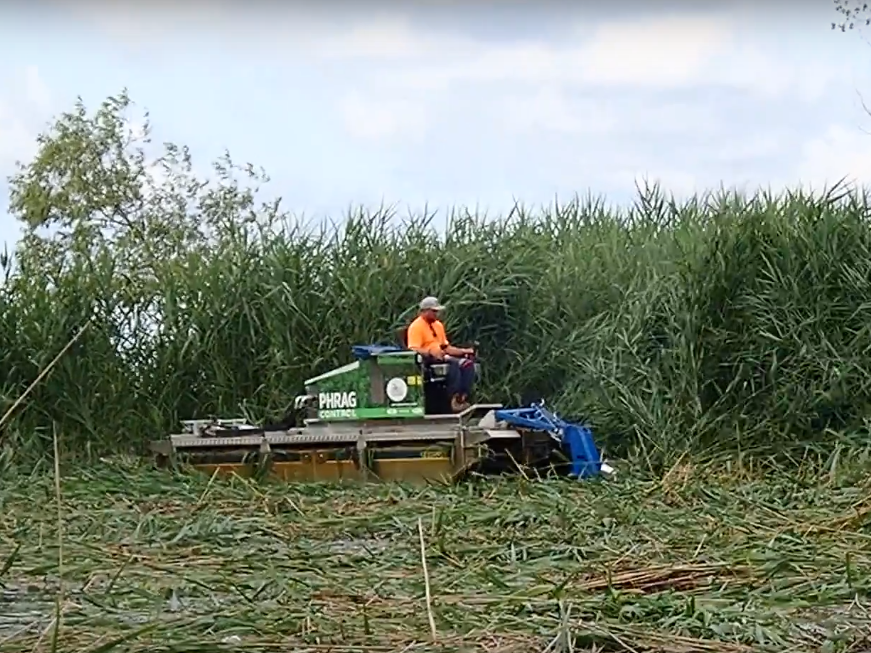 Cutting  Phragmites  with a Truxor #2.