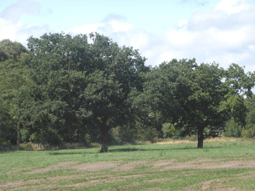 Oaks were sacred to Zeus, Jupiter, Thunor, Thor, and probably Taranis