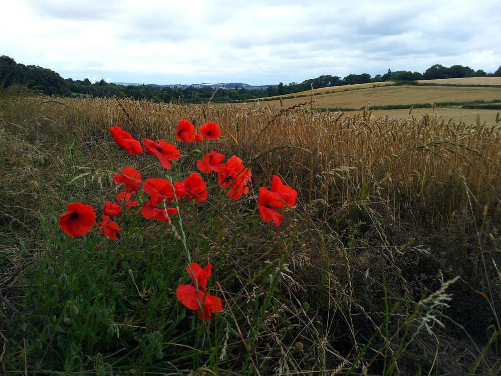 Field with poppies. (Photo by Accipiter Nisus)