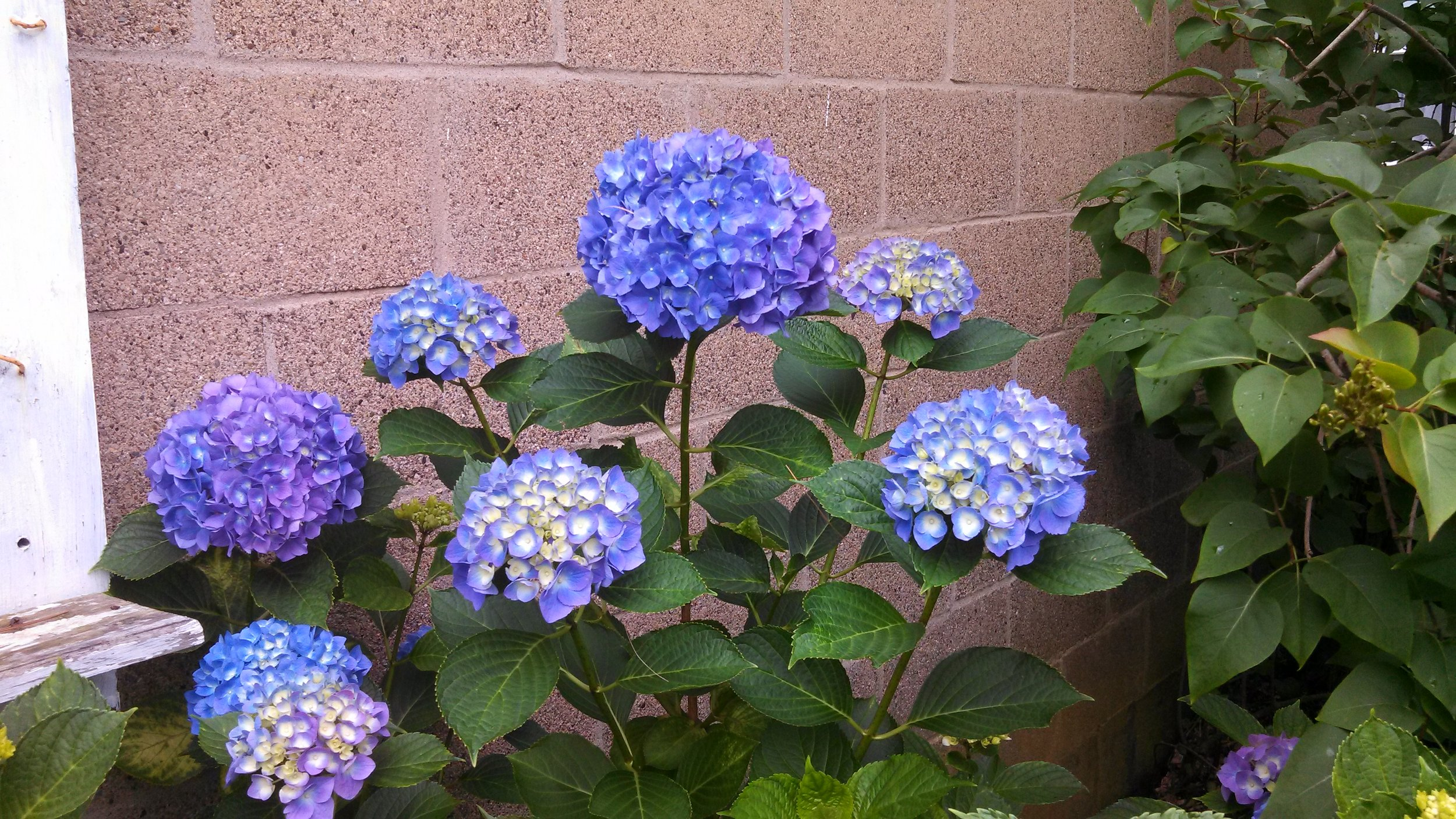My Multi-colored Hydrangea