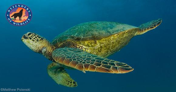 sea-turtle-MatthewPotenski-email (1).jpg