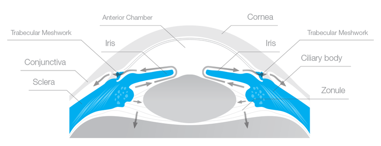 Circulation of fluid in a normal eye. The aqueous humor is secreted by the ciliary body, then it passes through the pupil into the anterior chamber, finally draining through the trabecular meshwork located in the angle between the cornea and the iris.  CB1 receptors are present in several areas of the eye, including the ciliary body and the trabecular meshwork.