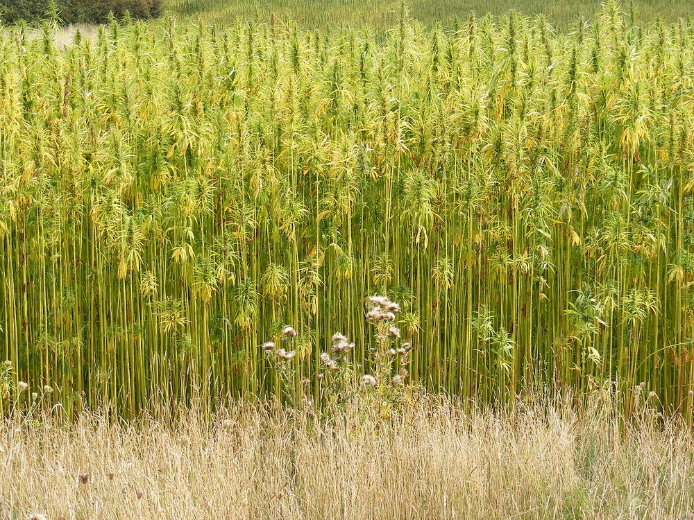 1280px-Hemp_Crop_in_Peasenhall_Road,_Walpole_-_geograph.org.uk_-_1470339.jpg