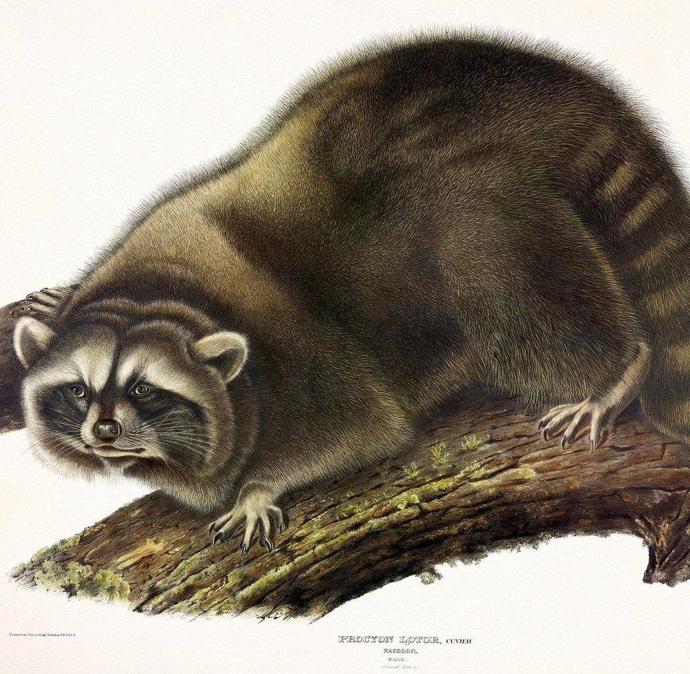 Plates from Audubon's The Viviparous Quadrupeds of North America