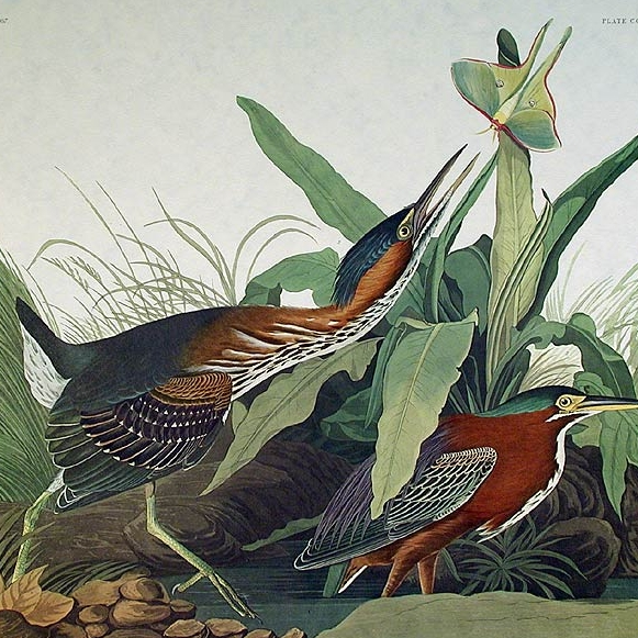 Plates from the first octavo edition of Audubon's The Birds of America 1 - 200
