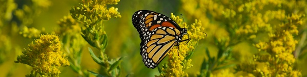 ragweed_and_butterfly_header