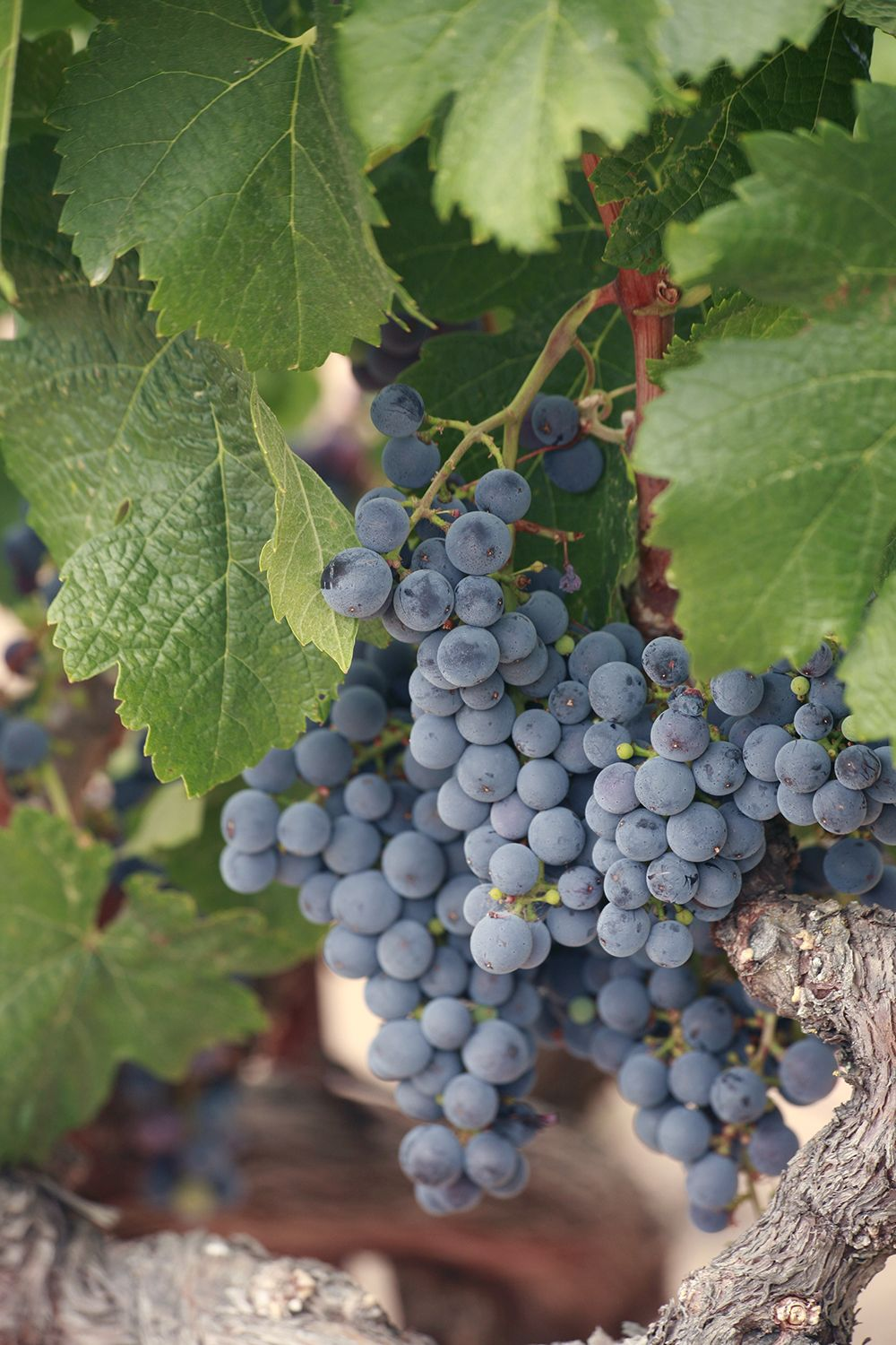 Sonoma Grapes bi-sharp, 75dpi, 1500px, irf.jpg