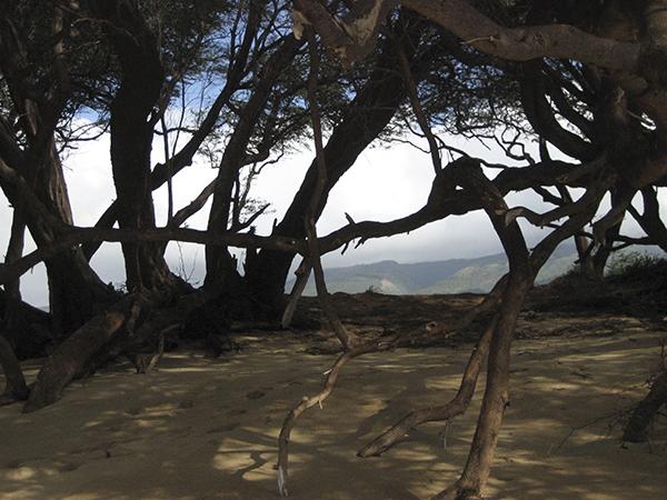Maui Mangroves #1