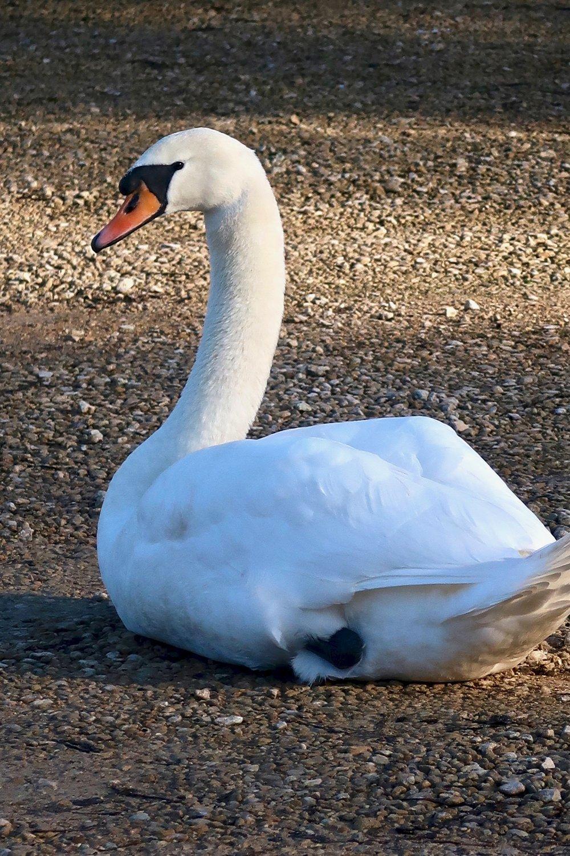 Swan at The Pig Near Bath.jpg