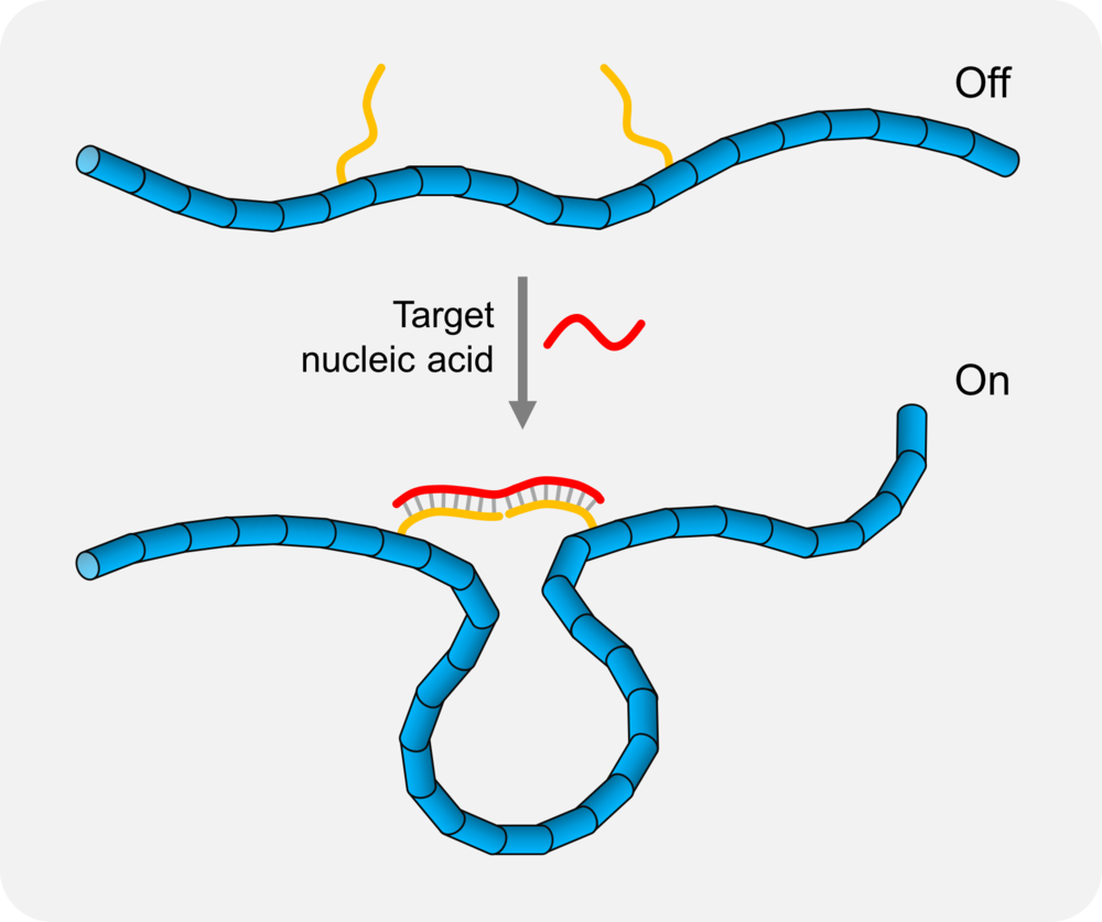 DNA nanoswitch operation: Hybridization of the target nucleic acid with the detectors causes a conformational change from linear to looped state.