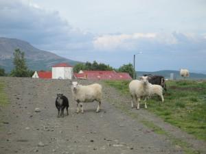 Eyvindartunga Farm