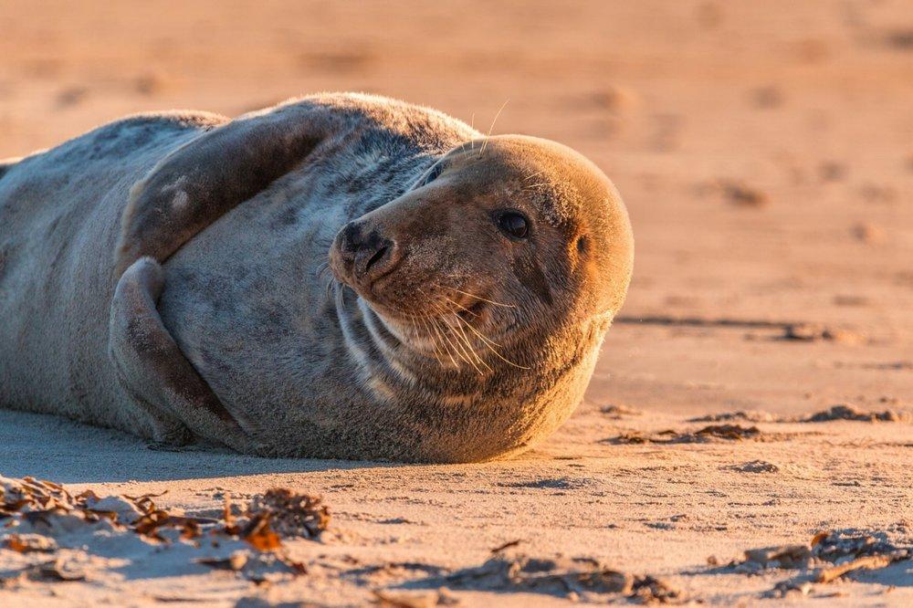 Gray seal on Heligoland