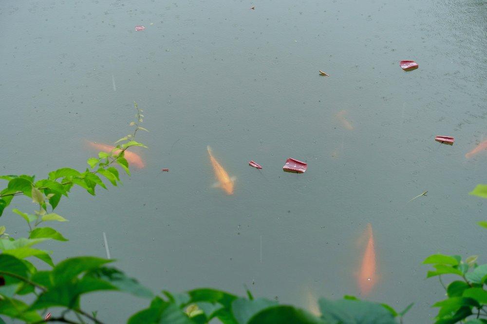 koi fish pond.jpg
