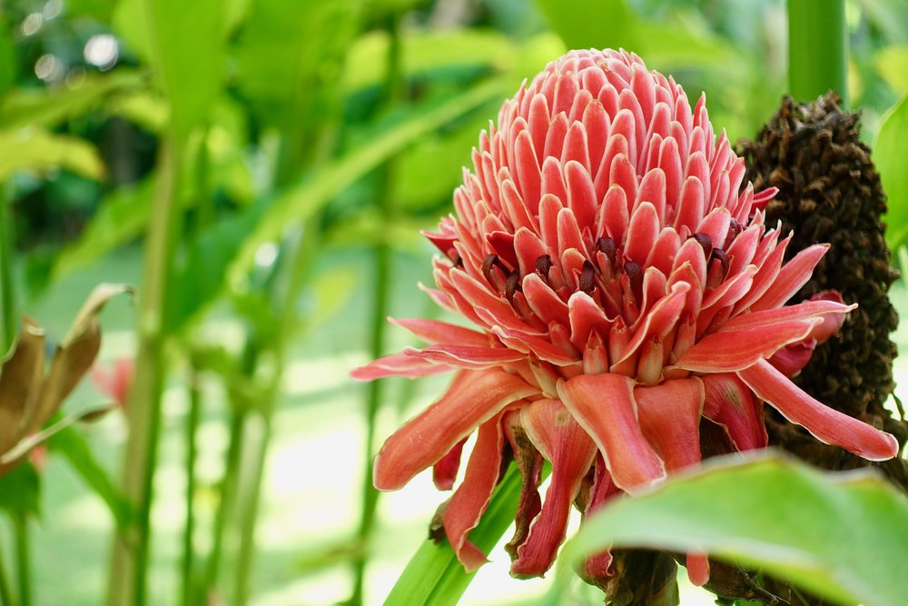 *ginger flower.jpg