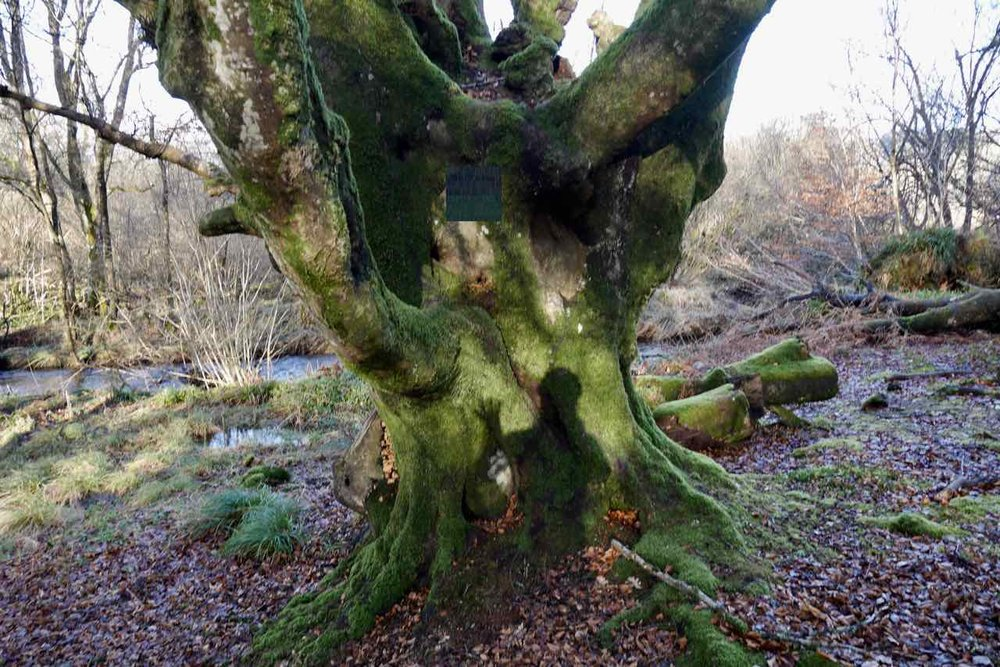 The beech tree closer