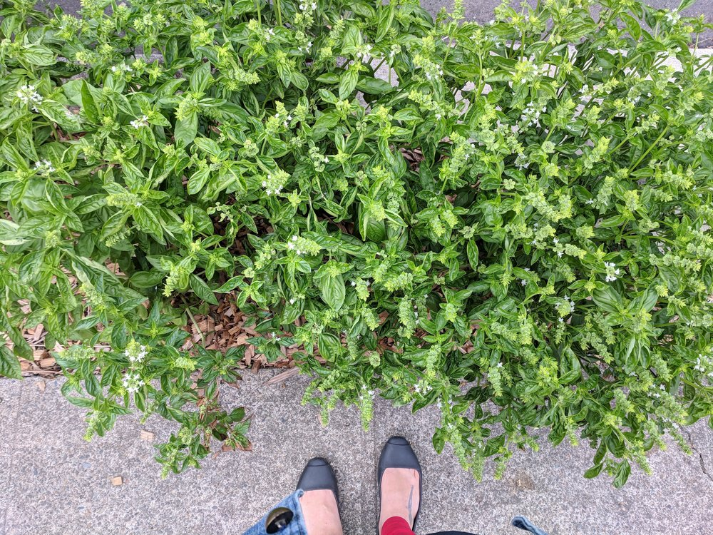 All my summer basil dreams come true (on a walk in SE Portland)