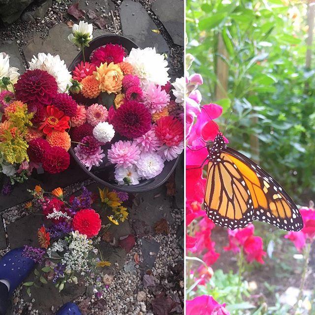 #dahlia #harvest from our #pollinatorgarden