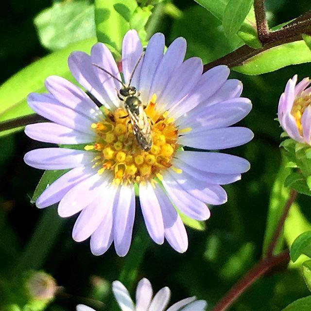 Wild bee in Northern California