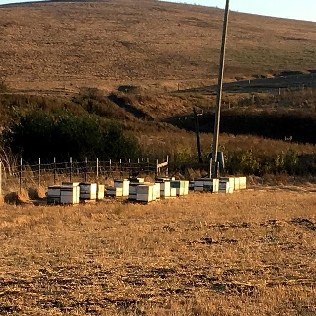 These #honeybees near #Sonoma have to deal with little forage until winter rains arrive.