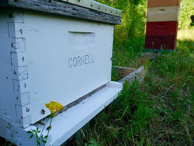 Cornell bees are enjoying the summer!