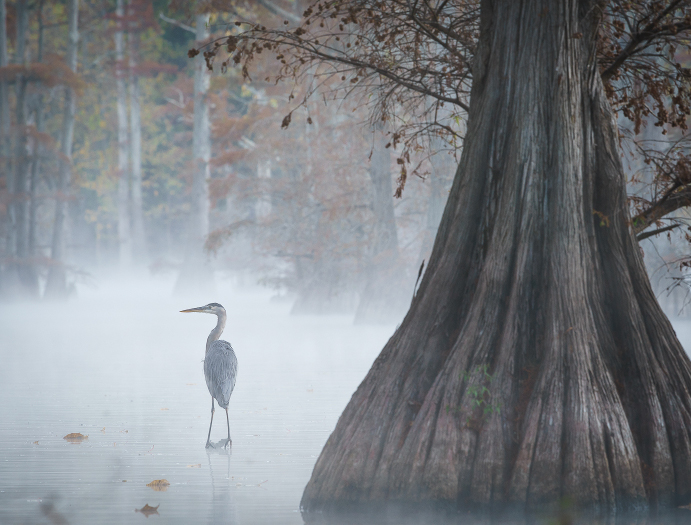 Heron In Fog   by Jim Long awarded   Honors   in Nature