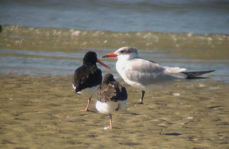 Pied Oyster Catcher and Caspian Tern
