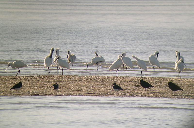 Royal spoonbills and oyster catchers