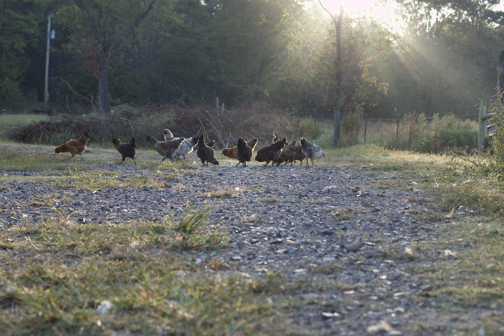 sunrisechickens