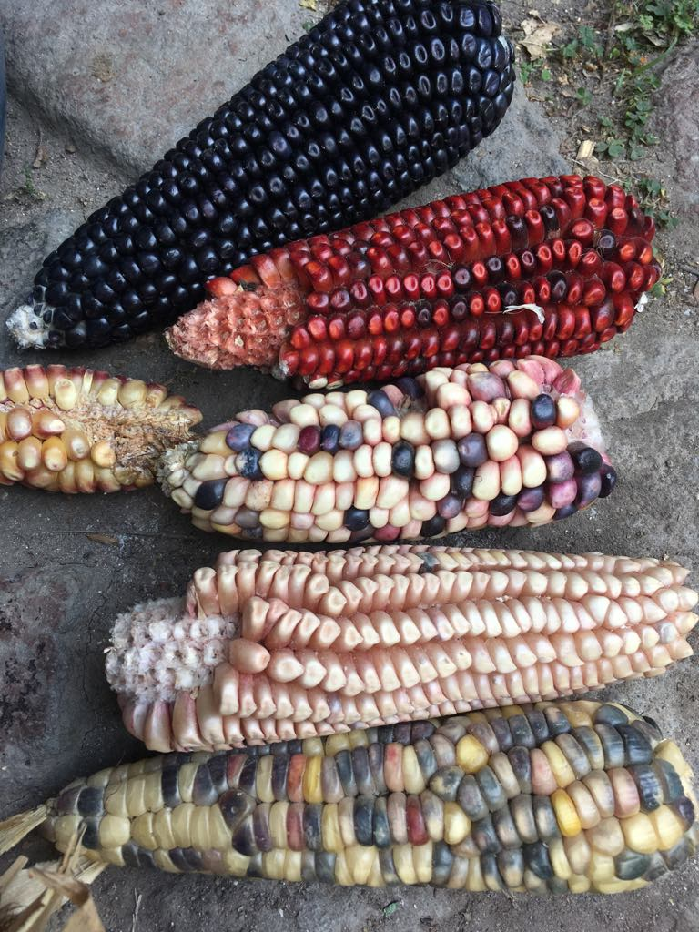 Native corn/maize criollo