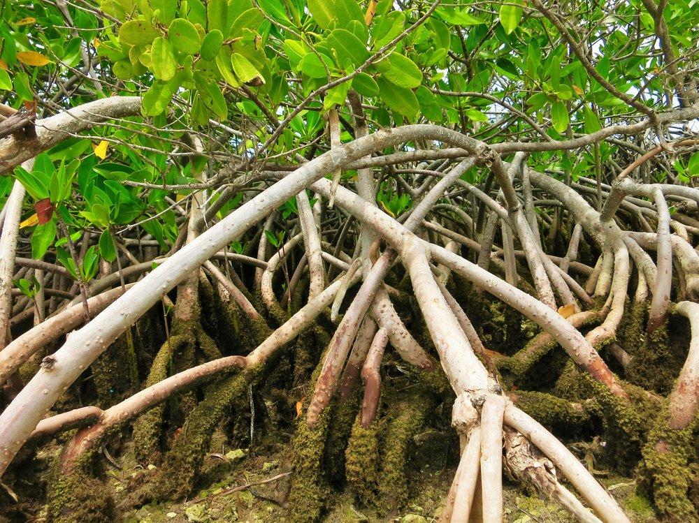 mangroves-1640496_1920.jpg